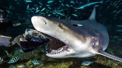 «Акула» ходит с канарейкой