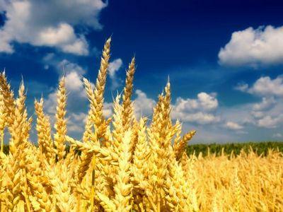 Более 5 млн тонн зерна планируют собрать аграрии акмолинской области