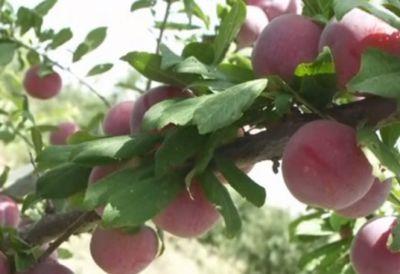Итальянские сливы и абрикосы дали хороший урожай в юко