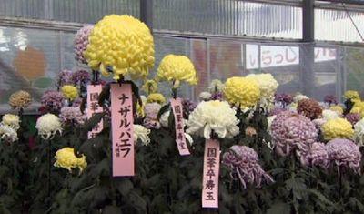 Японские цветоводы вывели новый сорт хризантем в честь н.назарбаева