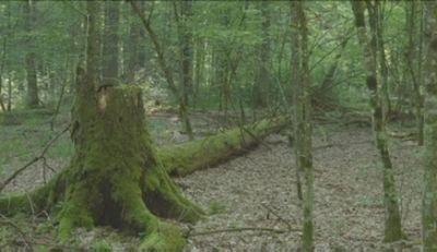 Экологи борются за спасение беловежской пущи