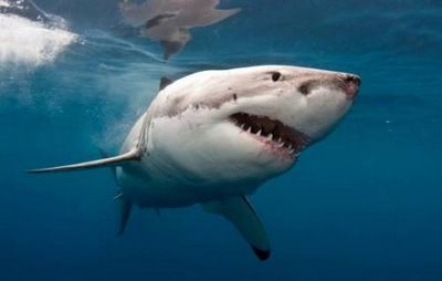 К чему снится акула, что акулы преследуют и кусают во сне? основные толкования - к чему снится акула чёрная или белая