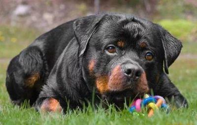 К чему снится большая собака: белая, чёрная, пятнистая, бешеная? основные толкования - к чему снится большая собака