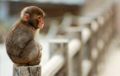 К чему снится обезьяна: спящая, агрессивная, говорящая? основные толкования - к чему снится обезьяна по разным сонникам