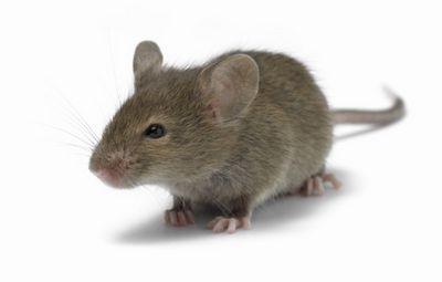 К чему снится серая мышь в квартире и на одежде. к чему снится убивать, ловить или кормить серую мышь