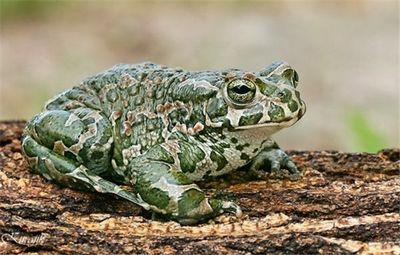 К чему снится жаба живая настоящая или сказочная говорящая? основные толкования - к чему снится жаба или много маленьких жаб