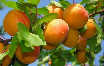К чему снятся абрикосы: внешний вид фруктов, действия с ними. к чему снятся абрикосы согласно разным сонникам