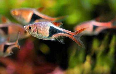 К чему снятся аквариумные рыбки, дерущиеся рыбки? основные толкования разных сонников - к чему снятся аквариумные рыбки