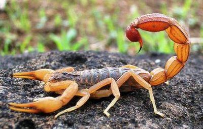 К чему снятся скорпионы, большие или маленькие? основные толкования к чему снится скорпион живой или нарисованный, тату скорпион