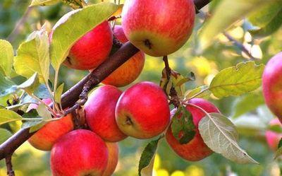 Как можно «заставить» плодовые деревья приносить урожай дважды в год