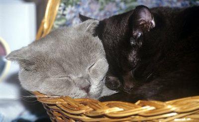 Кошки покорили европу вместе с викингами - «наука»