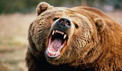Медведей-шатунов будут отстреливать