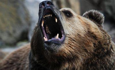 Медведи, которым не спится зимой - «наука»