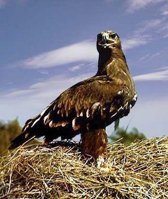 Не орел, но сокол