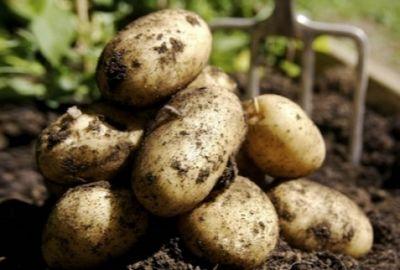 Павлодарские фермеры заняты уборкой картофеля