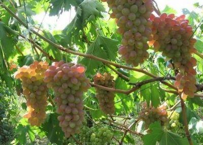Сельчанин из юко успешно выращивает заморские сорта винограда