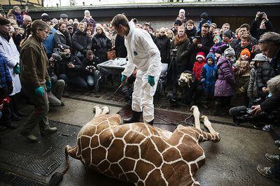 Селекционеры зоопарка копенгагена объяснили, почему они убили жирафа мариуса