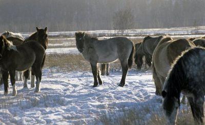Сибирь приучает к холоду на удивление быстро: якутской лошади нипочем мороз в 55 градусов - «наука»