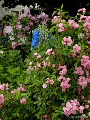 Синяя волшебница июльского сада