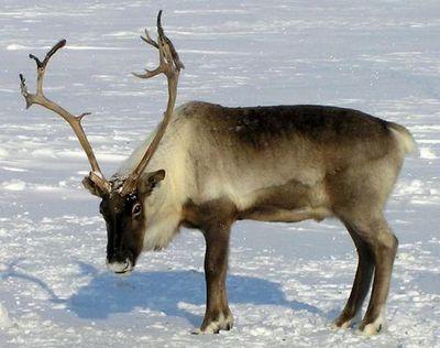 Ученые из финляндии раскроют секреты ямальского оленеводства