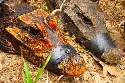 В африке обнаружены тупорылые подземные оранжевые крокодилы
