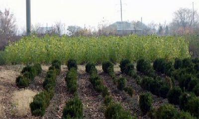 В питомнике юко ведут эксперименты с деревьями