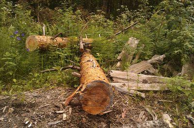 Вместо запрета на рубки в защитных лесах новый законопроект минприроды может разрешить их, опасаются экологи